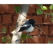 Magpie Robin Male Photographic Print