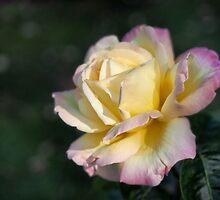 Peace Rose by Karen E Camilleri