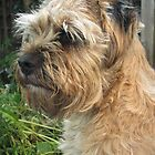 Border Terrier Portrait by John Honeyman