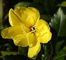 Evening primrose by Rivendell7