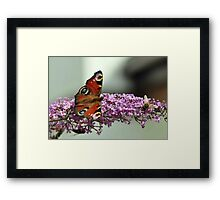 Peacock Butterfly and hoverfly Framed Print