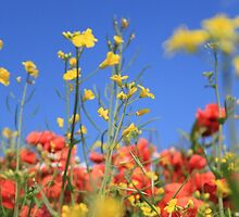 Down amongst the poppies by m1dpq