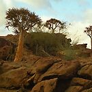 Kokerboom (Quiver) Trees - Augrabies National Park by Bev Pascoe