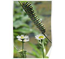 Black Swallowtail Caterpillar Closeup Poster