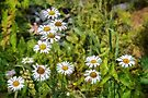Wild daisies by PhotosByHealy
