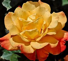 Morning Dew On A Yellow Rose by Kathy Baccari