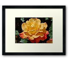 Morning Dew On A Yellow Rose Framed Print