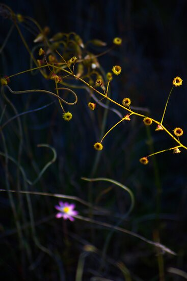 Honeydew, great southern wildflower by Adrian Kent