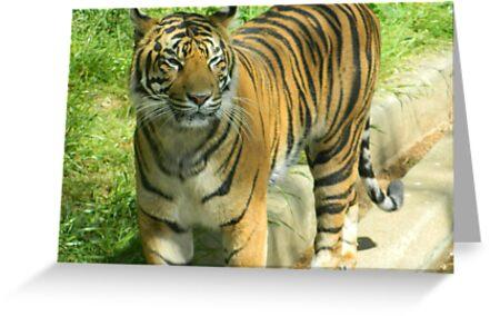 Tiger At The Zoo by Darlene Bayne