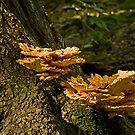 Laetiporus Sulphureus... finally! by Manon Boily