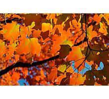 Orange Fall Maple Leaves Photographic Print