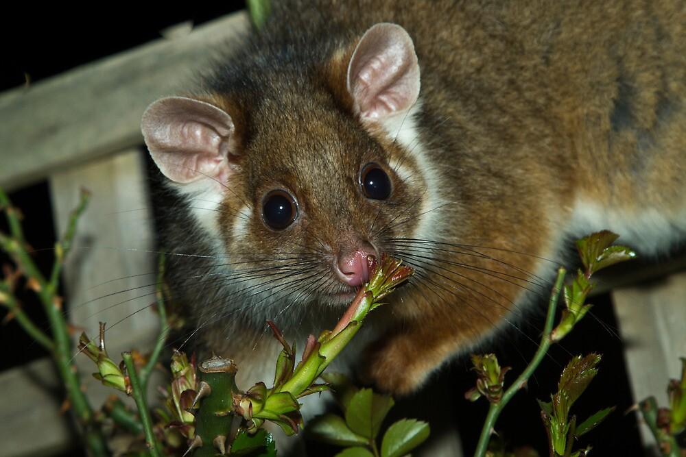 Possum by Colin  Ewington