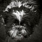 The Shih-Tzu Says &quot;Woof!&quot; by Jay Taylor