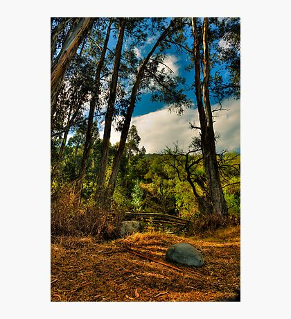 Eucalyptus Stand Photographic Print