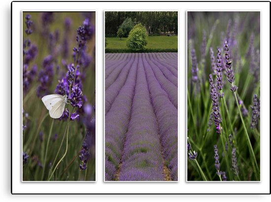 Lavender Field by Patricia Jacobs CPAGB LRPS BPE3