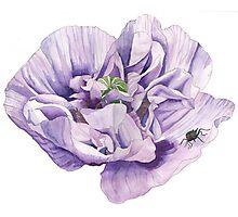 Single Purple Poppy Photographic Print