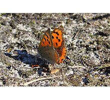 A Small Copper butterfly Photographic Print