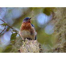 Bluebird Nestled In The Spanish Moss Photographic Print