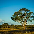 Afternoon sunlight on a Single Tree by Clare Colins