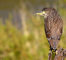 Juvenile Night Heron by withacanon