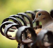 Nesting Mourning Dove by Debbie Oppermann