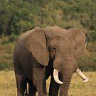 Big boy on the savanna by John Banks