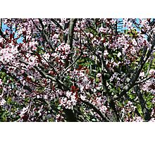 Ume Japanese Apricot Photographic Print