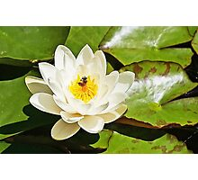 Bee on Water Lily Photographic Print