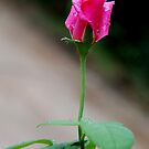 The Little Rose by Nith