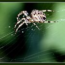 Cross spider  by hanslittel