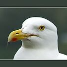 Yellow-legged Gull    (Larus michahellis) by hanslittel