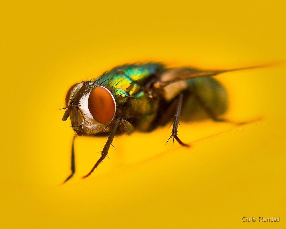 Louie the Fly II by Chris  Randall