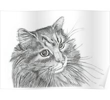 Fluffy Cat Pencil Drawing  Poster
