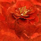 My Red Camellia  by CarolM