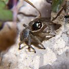 Jumping Spider by David Toolan