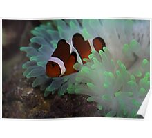 Clown Fish and Bubble Tipped Anemone Poster