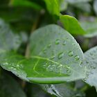 Water droplets taking a nap on a leaf by Elinor Barnes