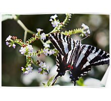 Western Tiger Swallowtail Butterfly Poster