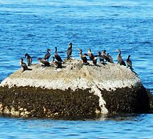 Cormorants on the Big Rock by DanByTheSea