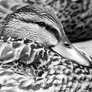 Just Ducky by milkayphoto