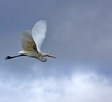 In Flight - River Murray Great Egret, Renmark, South Australia by Mark Richards