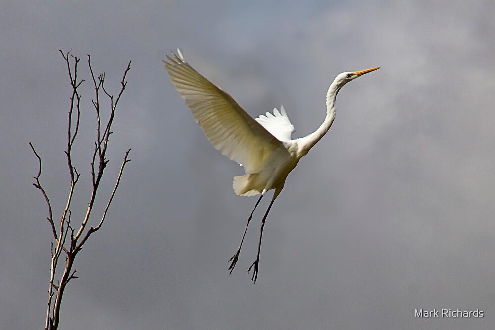 Leap of Faith - River Murray Great Egret, Renmark, South Australia by Mark Richards