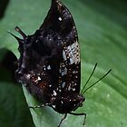 Butterfly by johnnycuervo