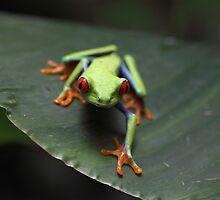 Red eyed tree frog by johnnycuervo