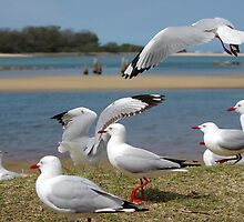 Seagulls at Urunga by Clare Colins