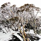 snow gums IV by geophotographic