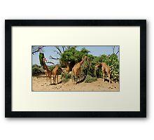 Reticulated Giraffes Framed Print