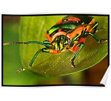 Metallic Shield Bug (Scutiphora pedicellata) Poster