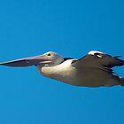 Pelican in flight  by D-GaP