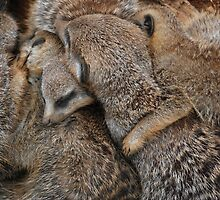 Meerkats Sleeping by jord3949